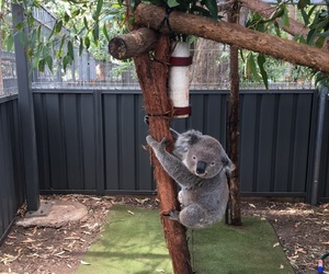 animal, australia, and Koala image