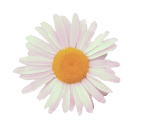 flower, daisy, and transparent image