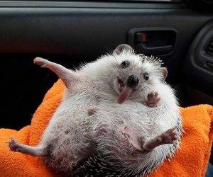 animal, crazy, and hedgehog image