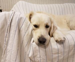 dog, golden, and goldenretriver image