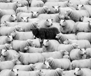 animal, black and white, and black sheep image