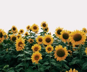 flower, yellow, and tournesol image
