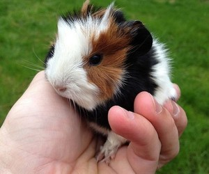 animals, guinea pig, and pet image