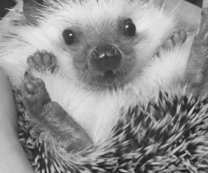 adorable, exotic, and hedgehog image