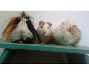family, guinea pigs, and love image
