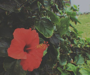 flower, hawaii, and red image