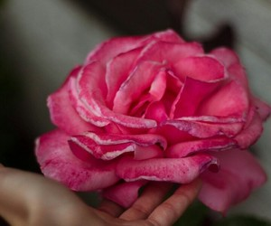beautiful, pink, and flower image