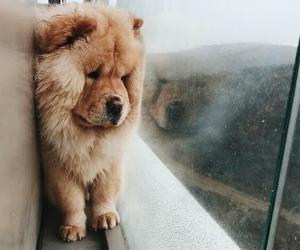 animal, chow chow, and dog image