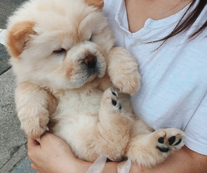aesthetic, animal, and chow chow image