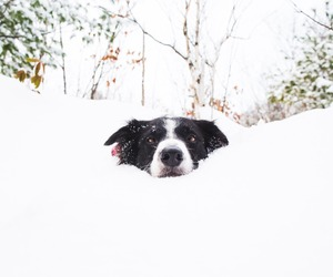 border collie, snow, and andrew knapp image
