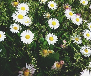 background, daisy, and flower image