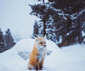 animal, colorado, and fox image
