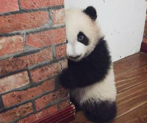 animal, panda, and cute image