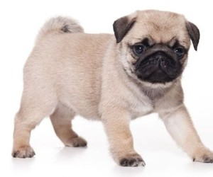 pug, dog, and puppy image