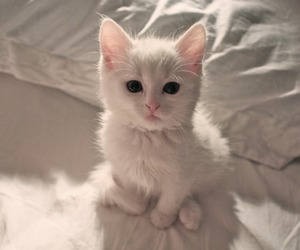 cat, kitty, and white image