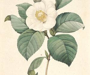 camellia, flower, and white image