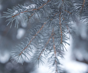 trees, winter, and spruce image