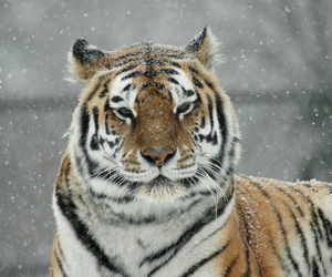 snow, snowing, and tigris image