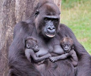 animals and gorilla image