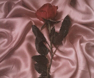 rose, pink, and red image