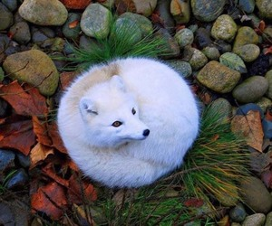 aesthetic, animals, and fox image