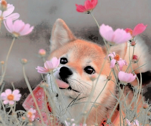 dog, shiba, and cute image