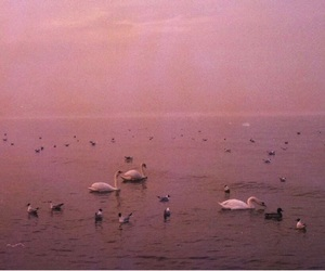 pink, Swan, and photography image