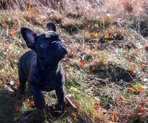 black, bulldog, and french bulldog image