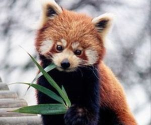 Red panda, cute, and animal image