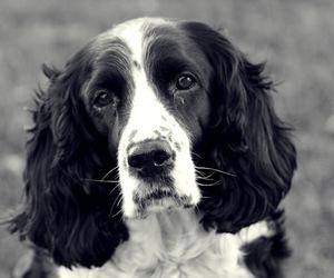 beautiful, black and white, and dog image