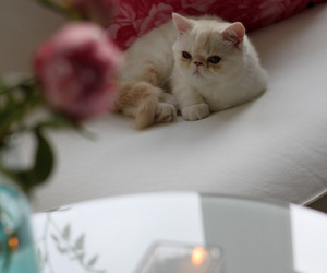 cat, exotic, and flower image