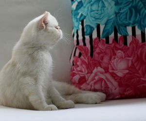 cat, sweet, and exotic image
