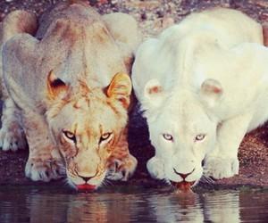 beautiful, lion, and photo image