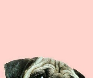 dog, pug, and background image