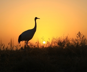 red-crowned crane, zhangye, and sunrise of the new year image