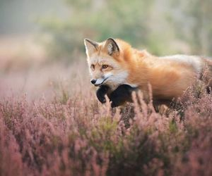 amazing, fox, and cute image