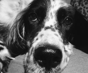 dog, english setter, and setter image