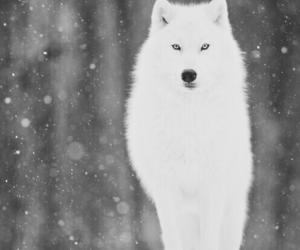 wolf, white, and animals image