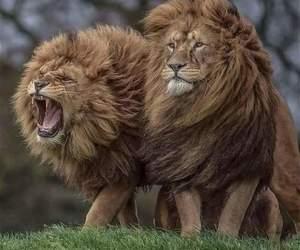 animal, beautiful, and lion image