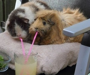 cute, guinea pig, and drink image