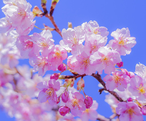 桜, cherry, and shonan image