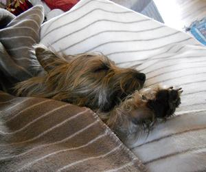 cairn terrier, chien, and grisby image