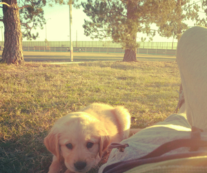puppylove, puppy, and goldenretriver image