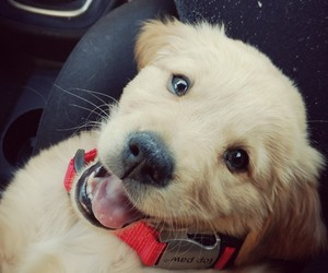 lovely, puppy, and goldenretriver image