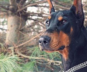 animals and doberman image