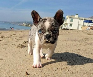 cute dog, cute puppy, and french bulldog image