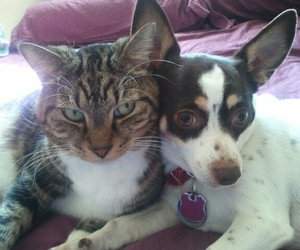 rat terrier and dogs and cats image