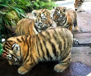 animals, exotic, and tiger cubs image