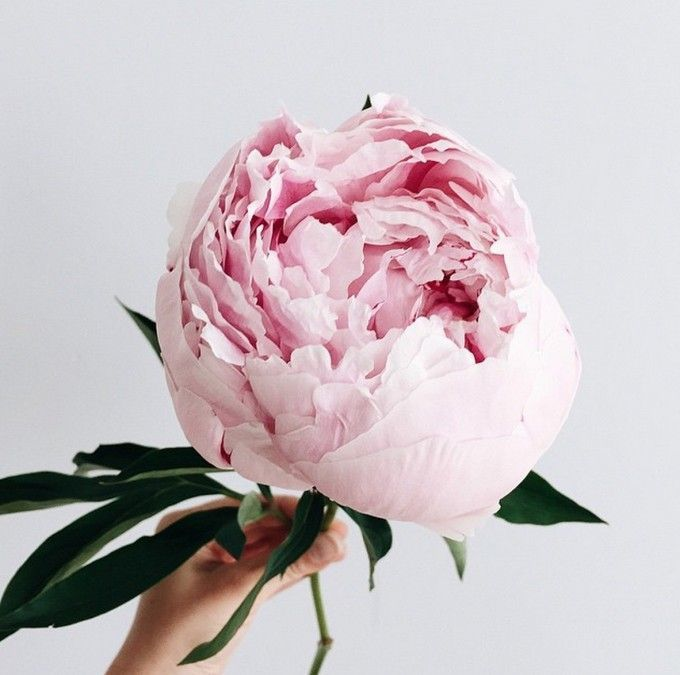 peonies, favorite, and flower image