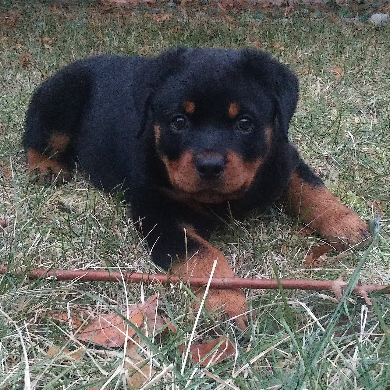 Rottweiler Puppy Http Puppiestotherescue Tumblr Com Post 169312109124 Discovered By Amy Melampy